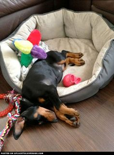 Tired Doberman puppy