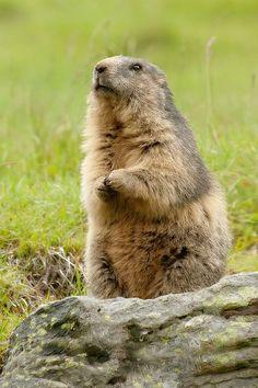 Marmotte des Alpes / Alpine marmot