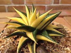 Succulent Plant Information: Hawarthia limofolia variegated