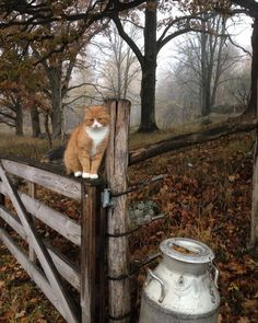 Contemplating Life, the Universe & Outlander Herbstzeit Outlander, Cat Aesthetic, Autumn Aesthetic, Farm Animals, Cute Animals, Winter Thema, Drive In, Amazing Animals, Ginger Kitten