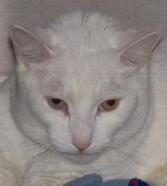 My name is Doc and I am a 5-year-old all-white kitty with two golden eyes. I was brought here to Lollypop Farm because I had strayed from home. So now I am looking for another home. I am a very affectionate guy and I love to be petted and stroked. I can be unsure of all the activity and noise here in the shelter, but give me a few minutes and I can really get into pets and ear-scratches. I really am a sweet guy.