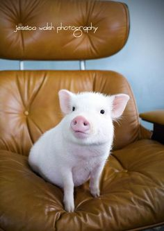 Reflections: This Little Piggy  An Interview with Lincoln, The Mini Pig: Meet Lincoln the mini pig in his first ever interview! Exclusive scoop from the little guy himself. Stunning photos courtesy of Jessica Walsh Photography.