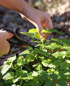 Grow a Mint Plant From Cuttings
