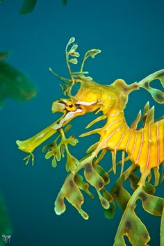 57. Leafy seadragon: 'This extraordinary fish has its entire body adorned with leaf-shaped, gossamer appendages that perfectly mimic the seaweed tangle of the temperate Australian coastal waters where it lives.' Read more in 100 Bizarre Animals www.bradtguides.com