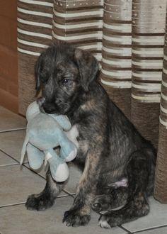 Irish Wolfhound Info, Temperament, Puppies, Pictures, Lifespan