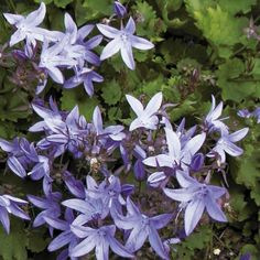 Campanula Plant - poscharskyana Blue Waterfall: Deciduous, cascading plants bearing star-shaped, violet-blue flowers from late spring through to summer.Campanulas are … - Dobies North Facing Garden, Sutton Seeds, Star Shape, Dream Garden, Blue Flowers, Waterfall, Plants, Gardening