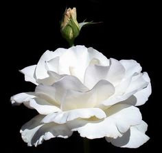 White Rose with bud in the Garden