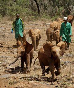 Sheldrick Elephant Orphanage In East Kenya Africa. Every orphaned elephant lost their beloved mother to poaching! Adopt An Elephant, Elephant Love, Elephant Facts, African Elephant, African Safari, Baby Animals, Cute Animals, David Sheldrick Wildlife Trust, Baby Elefant