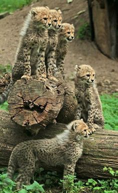 A coalition of cheetah cubs
