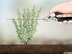 How to Prune Thyme. When growing thyme, you need to regularly prune it throughout the years in order to promote a good shape of the herb and encourage continual growth. Thyme that has become overgrown due to a lack of pruning will be very. Fruit Garden, Edible Garden, Herbs Garden, Growing Herbs, Growing Vegetables, Thyme Flower, Thyme Plant, Vegetable Garden Design, Vegetable Gardening