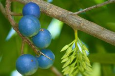 "Rudraksha-fruit-the revered Rudraksha tree (Eleocarpus ganitrus). Westerners call this the ""blue marble tree,"" but the name Rudraksha comes from Sanskrit. Rudra is an incarnation of the god Shiva, while aksha means eye. The name Shiva's eye refers to the brilliant blue fruit it bears:"
