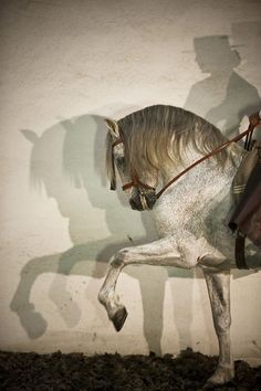 The Andalusian, also known as the Pure Spanish Horse or PRE (Pura Raza Española)