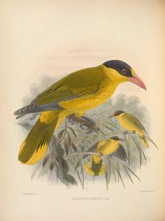vol. 2 - Ornithological miscellany / - Biodiversity Heritage Library