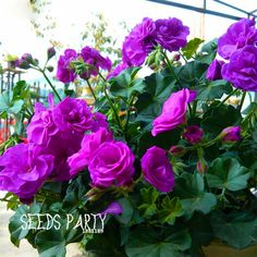 Sale! 30PCS Elegant Purple Univalve Geranium Seeds Perennial Flower Seeds Pelargonium Peltatum for Indoor Rooms,#FTIJ4G #clothing,#shoes,#jewelry,#women,#men,#hats,#watches,#belts,#fashion,#style