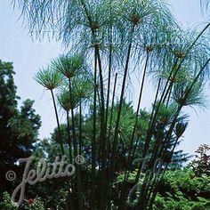 Grass Cyperus papyrus