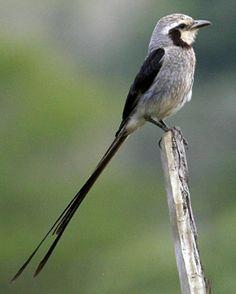 Streamer-tailed Tyrant, Guber-netes yetapa: BR/ PY/ AR/ BO. photo: Steve Bird