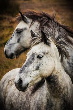"mysleepykisser-with-feelings-hid: "" Icelandic Horses by Ernie Vater on Flickr. """