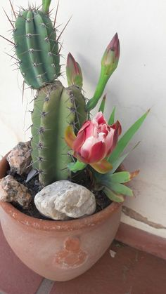 33 Astonishing San Pedro Cactus Inspirations to Completing Your Garden - About-Ruth Cactus House Plants, Cactus Decor, Garden Plants, Indoor Plants, Indoor Cactus, Cactus Cactus, Orchid Cactus, Succulent Gardening, Cacti And Succulents