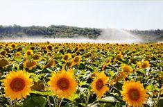 Aspersor de largo alcance 💦 diseñado para grandes instalaciones como los campos de girasoles 🌻 👇 👇 👇 [+Info ➡ 955 99 81 81/ info@aquatubo.com] Mountains, Nature, Plants, Travel, Fields, Field Of Sunflowers, Water Treatment, Irrigation, Naturaleza