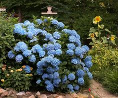 Click picture for link to instructions on pruning and dead-heading hydrangeas.    Hydrangeas need moist, well-drained soil for optimal growth. The pH level of the soil will determine the color of the hydrangea blooms. Acidic soils typically produce blue flowers and neutral to alkaline soils result in pink flowers. Adding coffee grounds or other organic material to your hydrangea's soil will reduce the pH level and make aluminum more available to the plant, resulting in more blue blooms.