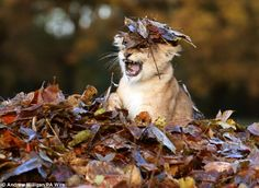 Lion cub playing in a pile of leaves - check it out so cute :)
