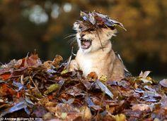 Autumn days: Karis, an 11 week old lion cub,