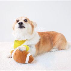 Puppy Bowl - Sneakers the Corgi Corgi Pictures, Cute Animal Pictures, Corgi Dog, Dog Cat, Cute Puppies, Dogs And Puppies, American Eskimo Dog, Dog Games, Pembroke Welsh Corgi