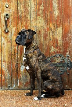An encyclopedic study about Boxer dog.Read about latest boxer dog health solutions and tips.Make your boxer healthy. Boxer Breed, Boxer Bulldog, Brindle Boxer Puppies, I Love Dogs, Cute Dogs, Boxer Love, Mundo Animal, Dog Photos, Beautiful Dogs
