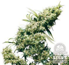 Sensi Seeds - Jamaican Pearl - Reg Seeds