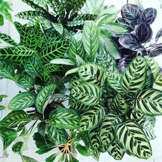 Lots of people would like information about Temperature Regulation for Indoor Plants. We can help you. Just click our link to find out more. Best Indoor Plants, Exotic Plants, Cool Plants, Outdoor Plants, Indoor Garden, Herb Garden, Vegetable Garden, Calathea Plant, Plants Are Friends