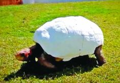 Fred the Tortoise Receives a 3D Printed Shell After a Horrific Fire Destroys His Original http://3dprint.com/84180/3d-printed-tortoise-shell-fred/