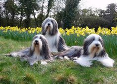 Bearded Collie Bearded Collie Puppies, Dog Bearding, Animals Beautiful, Cute Animals, Irish Wolfhounds, Collie Mix, Kinds Of Dogs, Old English Sheepdog, Dog Id