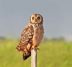 This is the Short Eared Owl. Find out more at: http://hootdiscoveries.com/pages/short-eared-owl