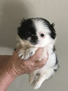 Listing Puppy for Sale Pekingese Puppies For Sale, Teacup Chihuahua Puppies, Teacup Yorkie, Yorkie Puppy, Cute Puppies, Dog Lover Gifts, Dog Lovers, Dog Toys, Toy Dogs