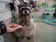 Animali buffi mentre guardano imploranti il cibo. #animals #funny #food