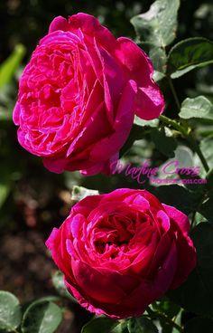 "David Austin rose ""Othello"""