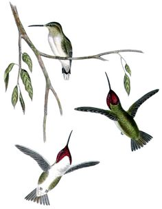 Animal - Bird  - Humming birds