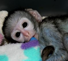 """""""Meet little """"Fielies"""", a two-week old baby Vervet Monkey that was recently admitted to the centre. The first few days at the centre are often the most difficult time for their new patients as they have to settle in and adjust to their new routines, however little Fielies is having no such problems and has quickly made friends with his adoptive sister, Poppy… and his new blanket"""""""