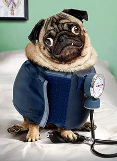 My hubby gave me a card with this pic on it! Inside it says... Looks like someone is in need of a vacation.. I was DESPERATELY in need of a vaca... Love those pugs...