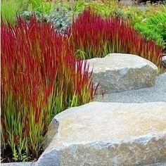 """Ziergras """"Red Baron"""",3 Pflanzen"""