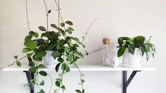We asked self-confessed plant nerd and co-founder of indoor plant delivery service Leaf Supply, Lauren Camilleri, to predict the next It-plants so you can snap them up at the nursery before every other apartment-dweller does. Big Potted Plants, Big Indoor Plants, Indoor Plant Pots, Pot Plants, Hydroponic Gardening, Hydroponics, Gardening Tips, Indoor Gardening, Plant Delivery