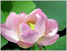 연꽃 - Google 검색