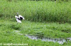 japanese-crane-reserve-kushiro-tancho-red-crown-cane-2629
