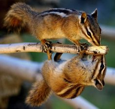 Betsy Seeton took this photo of a pair of chipmunks on a branch near her cabin in the Rocky Mountains near Tin Cup, Colorado. It looks like they are looking in a mirror or a reflection in water. Picture: Betsy Seeton/Solent News