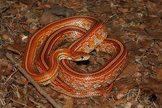 Tessera Corn Snake, Reptiles And Amphibians, Snakes, Terrarium, Noodles, Animals, Future, Beauty, Exotic Animals