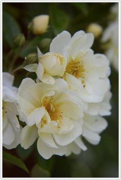 Honungsrosen 'Rosa helenae hybrida'