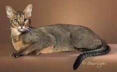 Chausie | Cat Fancy