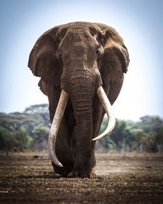 A bull elephant. Probably the only land creature today that no other solo creature can take and live to tell the tale. Elephant Facts, Bull Elephant, Asian Elephant, Elephant Love, Elephant Quotes, All About Elephants, Save The Elephants, Baby Elephants, Elephant Photography