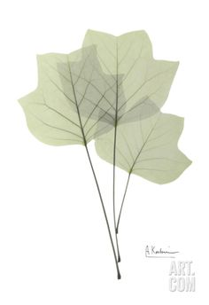 Tulip Tree in Green Art Print by Albert Koetsier at Art.com
