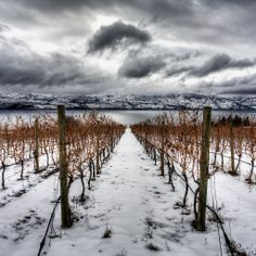 Quail's Gate Estate Winery | Winter Quail, Wine Country, West Coast, Gate, Gallery, Winter, Outdoor, Outdoors, Quails